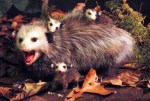 CatawbaPossum